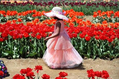 Vonshika Adapa, 5, of Shrewsbury, got all dressed up to walk through the tulips.