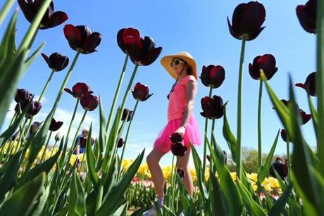 Tabitha Cabral-Elliot, 10, of Westport, Mass., was framed through deep purple Queen of the Night tulips.