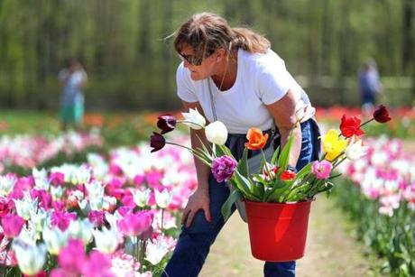 Paula Asci of Grafton looked at tulips to pick.