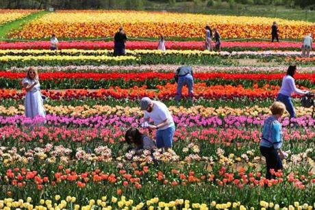 Thousands of people have tickets to pick tulips at $1 a stem and to take photographs of the 110 varieties.