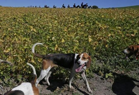 "The second field of riders arrive on the other side of a bean field after the hounds found their ""fox."""