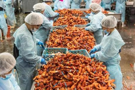 RICHMOND, MAINE - November 29, 2018: Workers pick meat from the claws, legs, and tails of the lobster. The meat will be rapidly frozen with nitrogen, which extends its shelf live, and the tails are composted. (Greta Rybus for the Boston Globe)