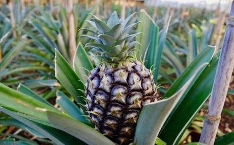 A pineapple at one of the pineapple plantations on the island of São Miguel in the Azores