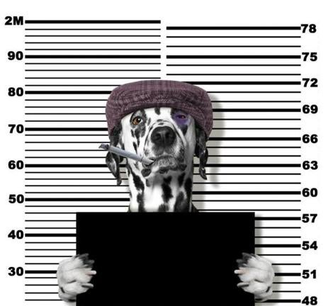 Criminal dalmatian dog at the police station. Photo on white background