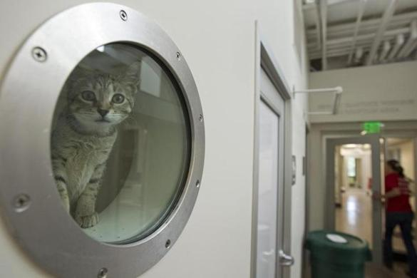 A cat named Snow Shoe peeked out of the port window of her cage at the remodeled shelter in Dedham.