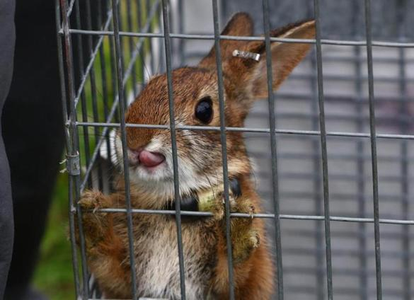 A New England cottontail bred in a refuge in Newington, N.H., was penned Thursday in advance of its release.