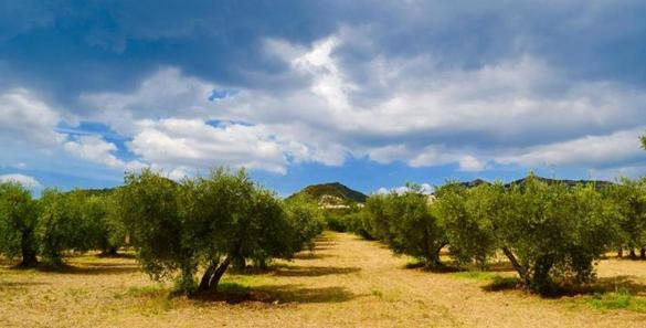 An olive tree orchard in Provence, France.