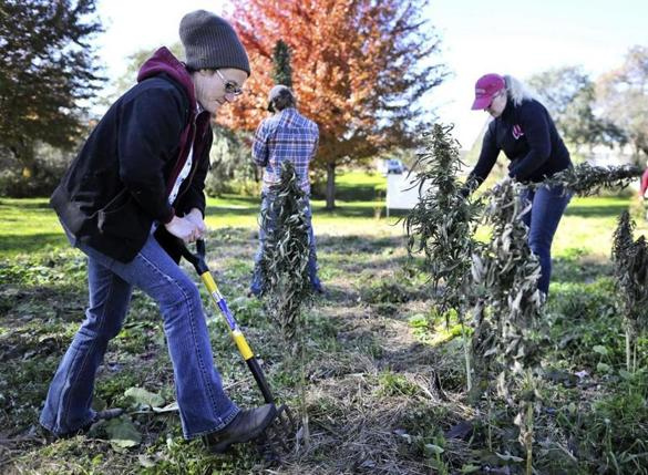 Michael Fields Agricultural Institute employees Allison Pratt-Szeliga, left, Shannah Schmitt, right, and Jakob Rose, behind, harvest industrial hemp from their research plot located at their location in East Troy, Wis., on Tuesday, Oct. 23, 2018. (Anthony Wahl/The Janesville Gazette via AP)