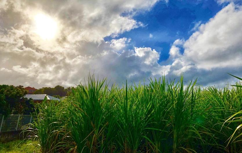 A sugarcane field in the small village of Tartane in Martinique