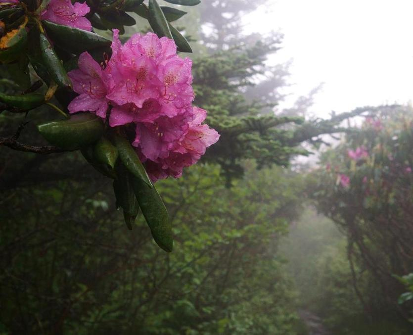 The trail to Grassy Bald tunnels through massive rhododendron bushes.