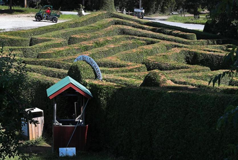 Stow, MA: 8-23-18: The Hedge Maze at Honey Pot Hill Farm is pictured. (Jim Davis/Globe Staff)