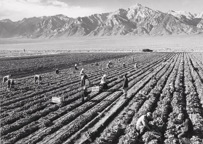 """Potato Field, North Farm, Manzanar, from Photographs of Japanese-American Relocation Camp in Manzanar, California"" by Ansel Adams"