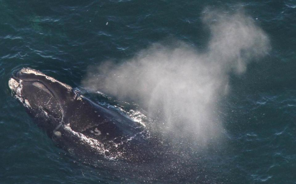 A North Atlantic right whale in Cape Cod Bay in February 2012.