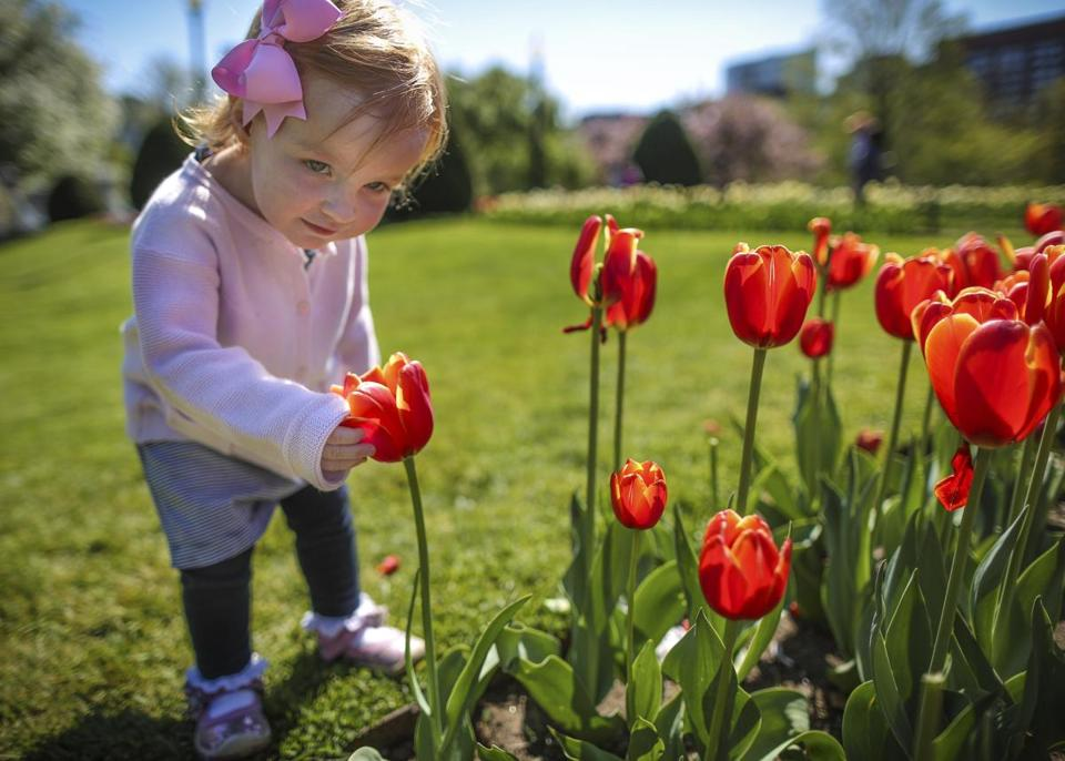 The tulips are in full bloom at the Public Garden, and 2-year-old Georgina Foley checked them out Wednesday. Gardeners everywhere suddenly have a lot to do, and drought conditions are making things tougher.
