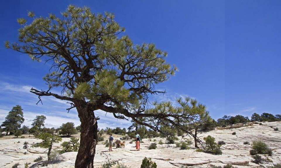 Scrub trees and small plants grow in fissures of slickrock at Grand Staircase Escalante National Monument.
