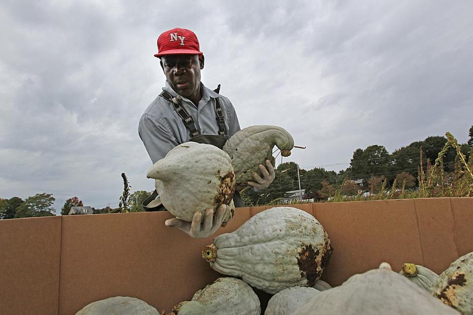 Hubbard squash grown at Ward's Berry Farm in Sharon are a new offering this fall at the sprawling, efficiency-focused Greater Boston Food Bank.