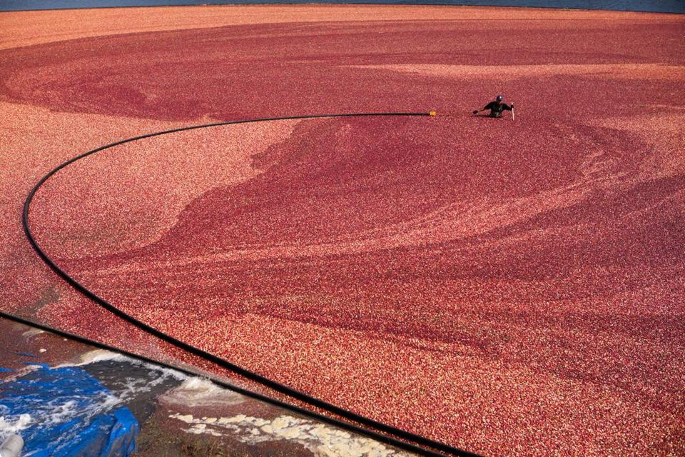 A harvester corrals cranberries from a flooded bog into a pump at the A.D. Makepeace Cranberry Harvest celebration in Wareham on Oct. 6. The annual event began in 2004.