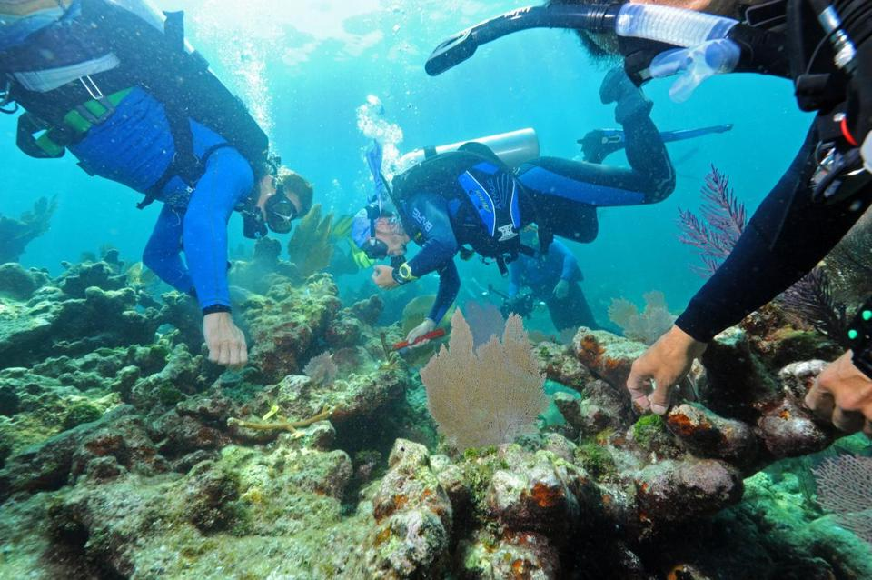 Volunteer divers, organized by Ken Nedimyer, scrape rocks clean and with waterproof putty affix transplanted corals to Dry Rocks Reef, off Key Largo, Fla.
