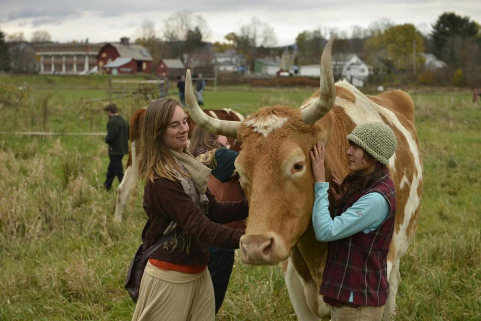 Alison Putnam (left) and Meiko Lunetta tended to oxen Bill and Lou, who have become a symbol at Green Mountain College, but are to be sent to a slaughter house.
