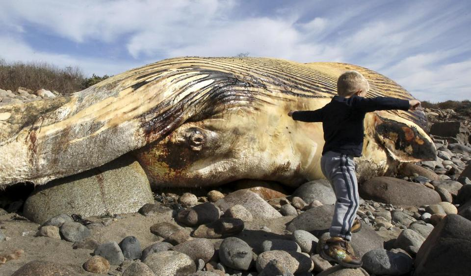 Thomas Cribbs, 4, of Gloucester, came to see the whale carcass washed ashore in Rockport. The town will let it decay in place.