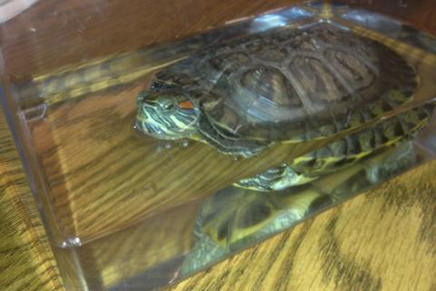 A commuter rail rider apparently headed to the airport is reported to have abandoned the turtle on the train.
