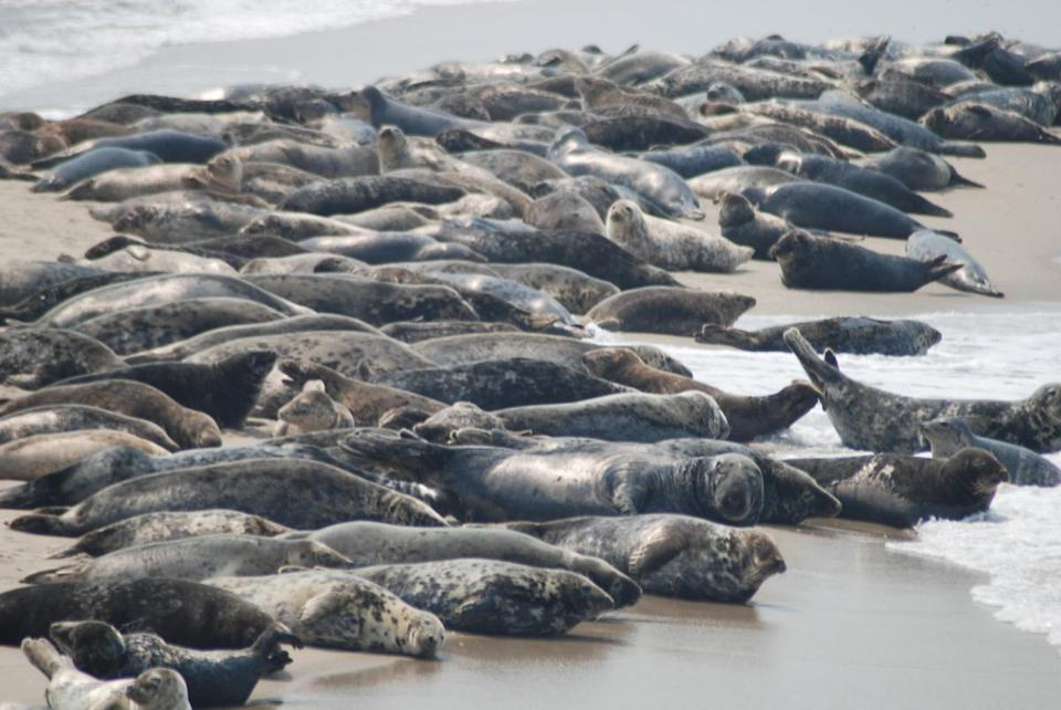 Thousands of grey seals congregate off Nantucket's shores.