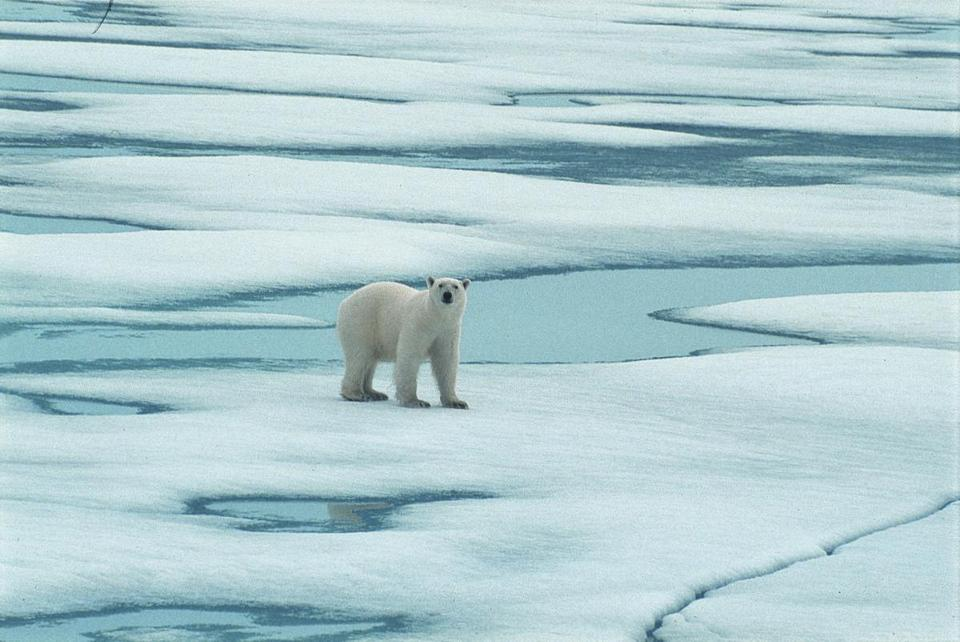 A polar bear on Halfmoon Island in the Arctic Circle.