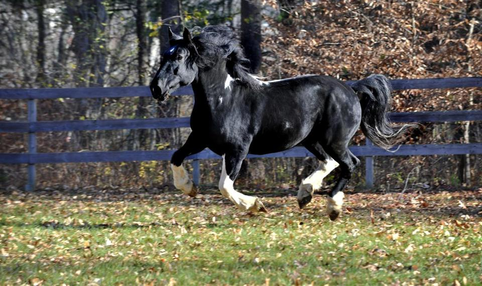 Jack, a Percheron and Paint cross galloped in a field at his owner Debbie Rosse's farm in Rowley.