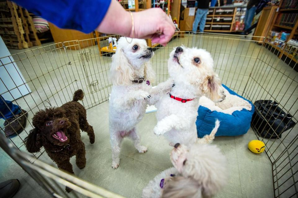"Dogs available for adoption through Toy Poodle Rescue vie for treats during a recent ""meet and greet"" event at a pet store in Wayland."