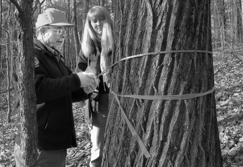Merle Ring (left) and Michele Windsor measured various parts of the 95-foot-tall American chestnut in Hebron, Maine. The tree is believed to be the tallest chestnut in the East.