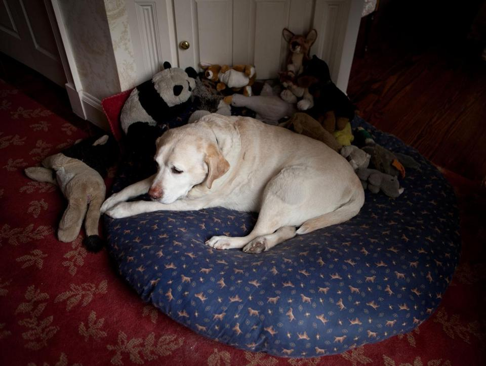Dempsey, a 14-year-old blond Labrador retriever, owned by Kevan and Sheila Cunningham, rests on his special bed.