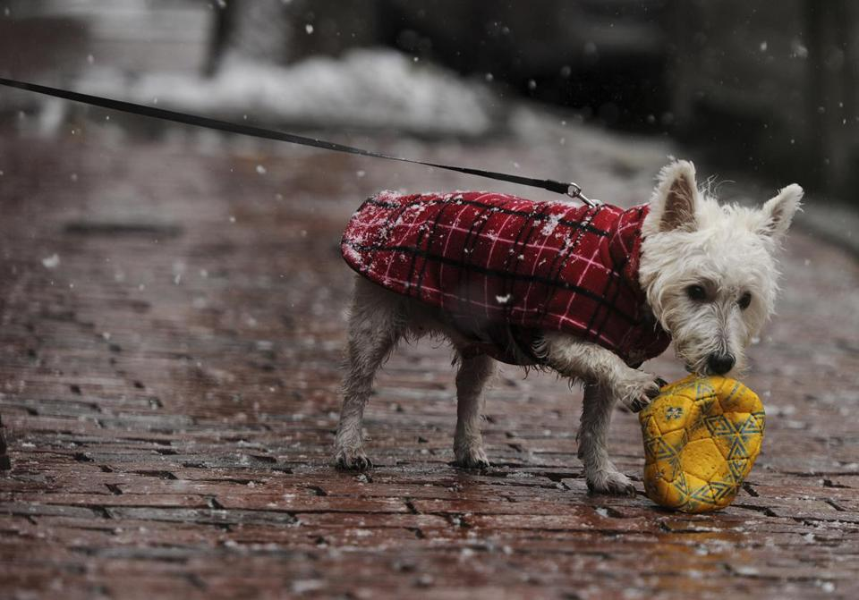 Dempsey, a 6- month-old West Highland Terrier, played with a deflated soccer ball as light snow fell in the South End on Saturday.