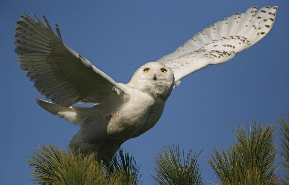 A snowy owl, like the one above, was spied on Cuttyhunk.