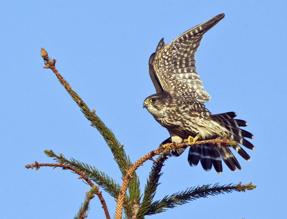 A merlin stretches out at Salisbury Beach State Reservation.