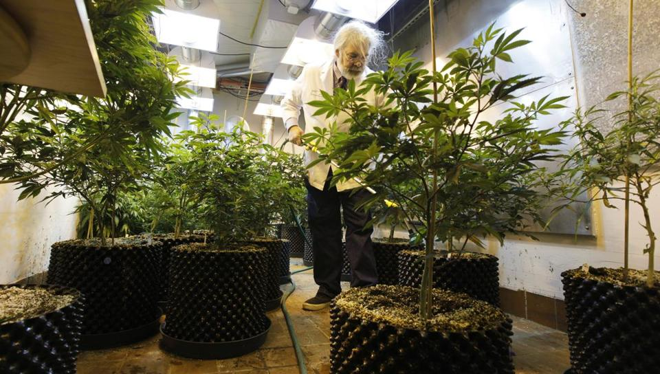 In Seattle, Jake Dimmock waters young plants at his medical marijuana dispensary.