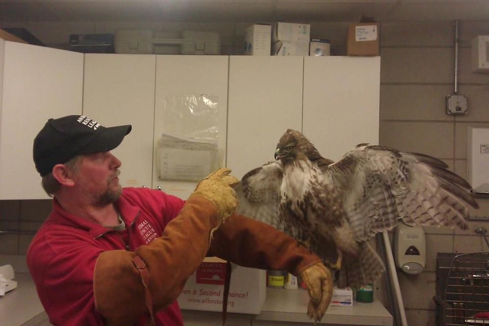 Mike Brammer of the Animal Rescue League handled the hawk after it was scooped up from the tracks at North Station.