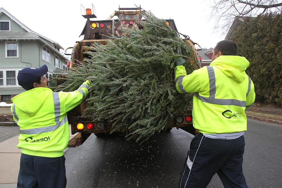 Christmas trees like the one at top picked up by Boston trash collectors in West Roxbury eventually end up on a giant compost pile in Mattapan.