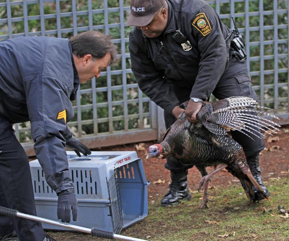 Animal Control officer Pierre Verrier wrestled with the bird Tuesday to place it in a cage being held by Sergeant Bobby Murphy. Police had set up a sort of stakeout until two turkeys were spotted.
