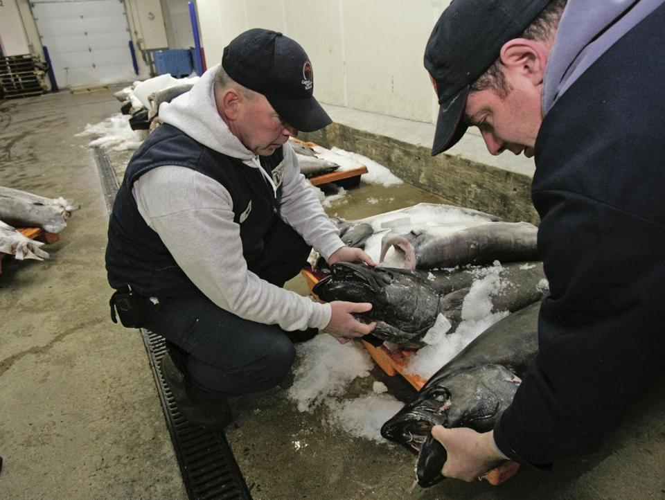 Paul Sullivan of Captain Marden's Seafoods and Peter Klein, a manager at John Nagle Company, look over escolar (sometimes called white tuna or ex-lax fish) caught off Puerto Rico. Legislation expected Friday would impose fines on places that mislabel seafood and make Massachusetts the first state to ban escolar.