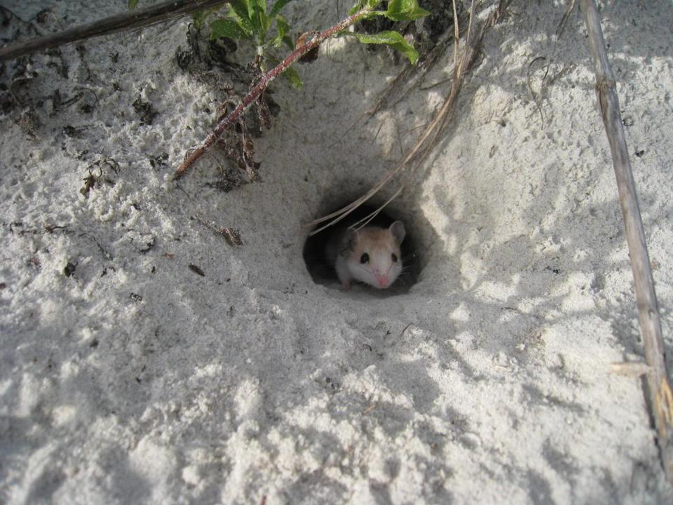 An oldfield mouse (Peromyscus polionotus) emerged from its burrow where it made its home in the sandy dunes of Florida's Atlantic coast.