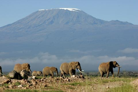 A herd of elephants walk with Mt. Kilimanjaro in the background in the Amboseli game park in Kenya.