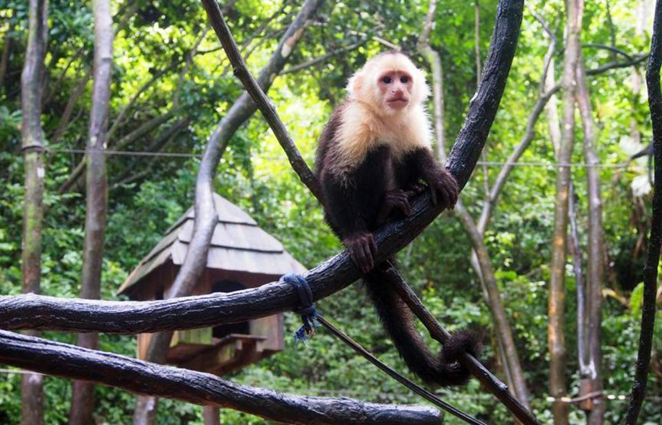 Honduras Monkeys