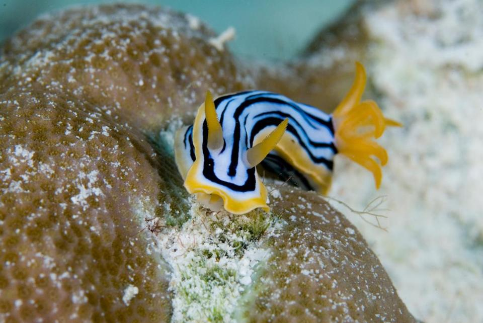 "Nudibranch Stripe fish in the documentary ""The Last Reef 3D."""