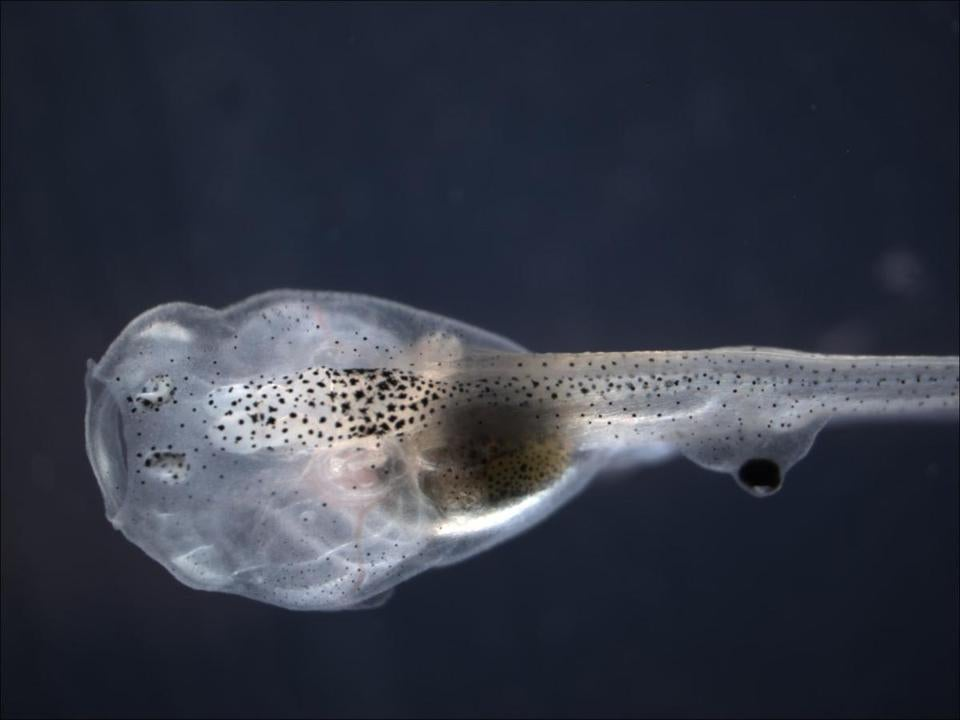 A blind tadpole has an eye on its tail that was transplanted by Tufts University biologists. The eye became a source of vision by sending signals to the brain through the spinal cord.