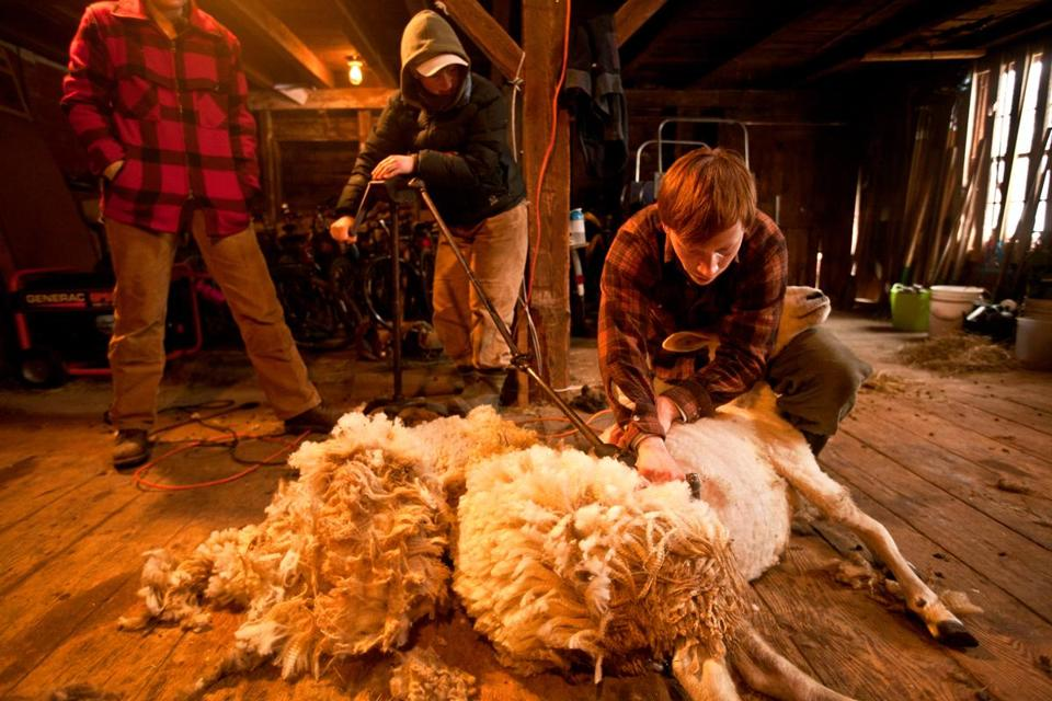 With the help of Sarah Habeck of Middletown, N.J., Andrew Harrington of Barrington, R.I. worked to shear a lamb.