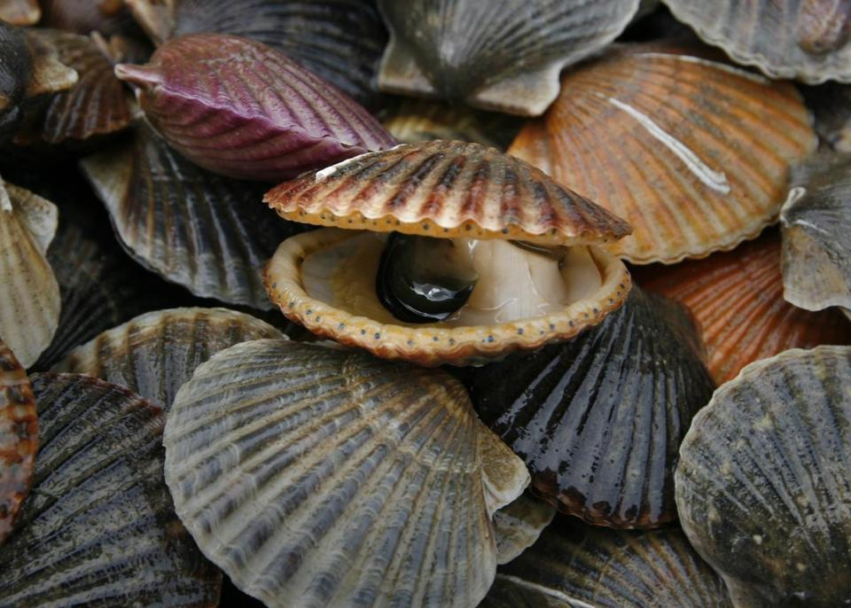 Bay scallops are typically found around muddy sand and eelgrass. They can be recognized by their familiar round grooved shell, which can grow up to 4 inches across.