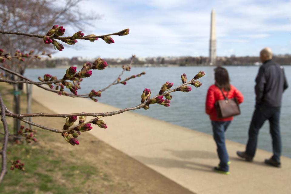 The unusually cold winter in Washington shouldn't affect the cherry blossoms much, the National Park Service says, but the trees' blooming process will be slower than normal.