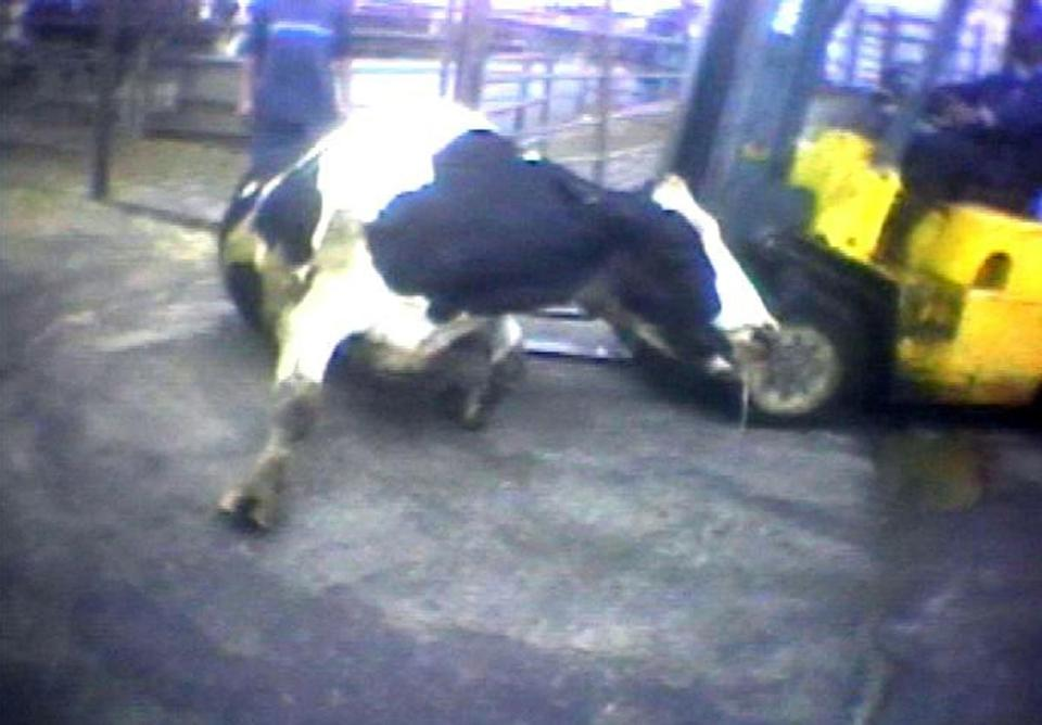 "In a Humane Society video, a slaughter plant worker is shown ramming a ""downed"" cow with forklift blades."