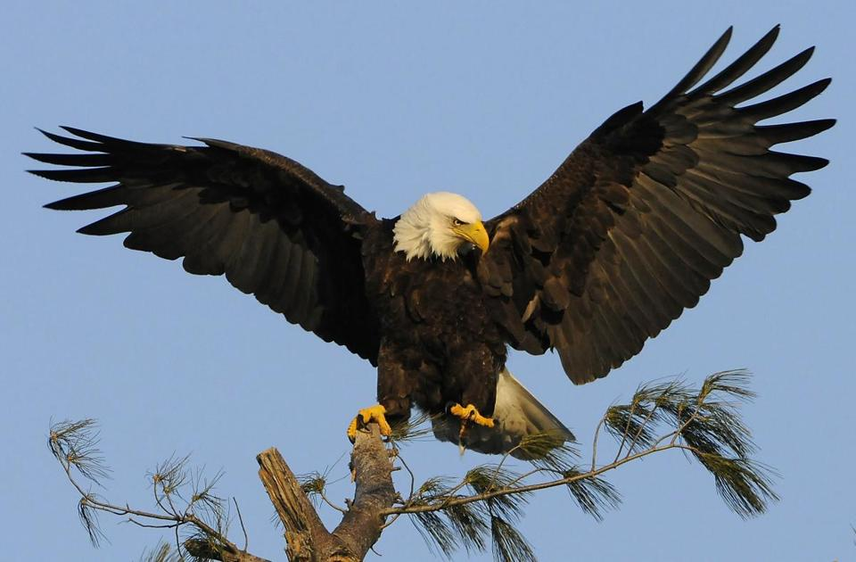 Thirty active bald eagle nests have been verified in the state, including several in Eastern Massachusetts.