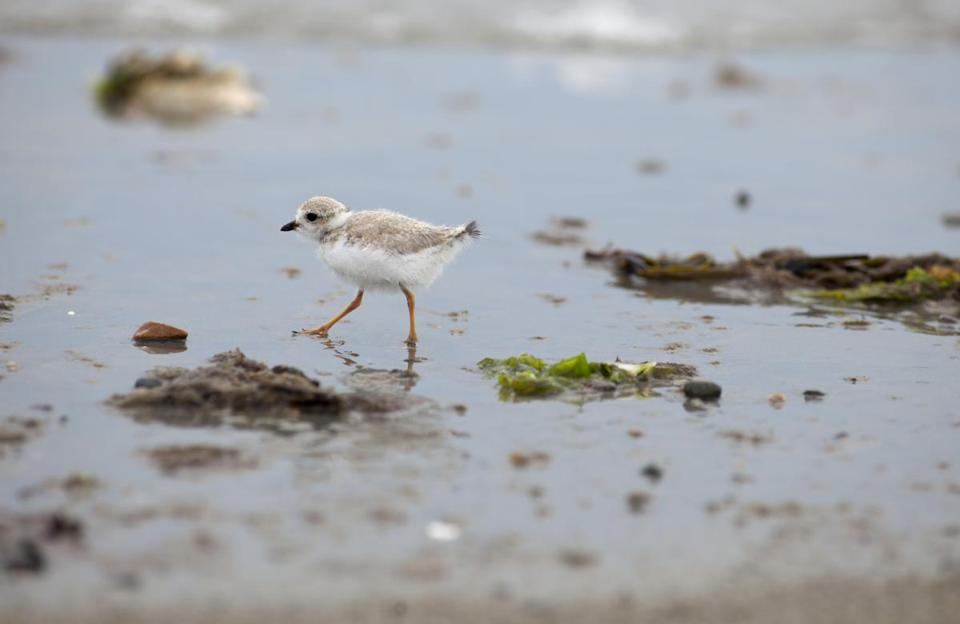 A wing and a swear: For some beachgoers, plover-related restrictions represent environmental do-gooding run amok.